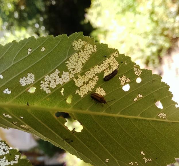 Elm Leaf Beetle Canberra