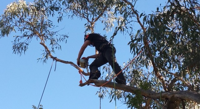 Image result for tree pruning canberra