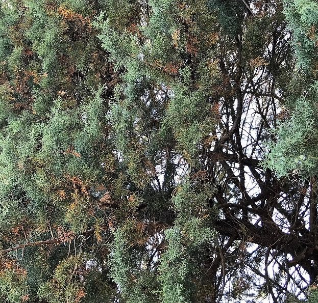 Spruce Spider Mite Attack Conifers Gold Leaf Tree Services